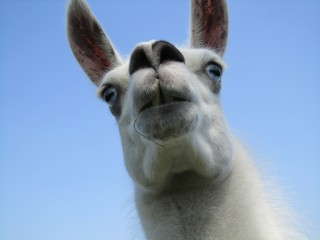 Австрийский отель предложил туристам прогулки с ламой