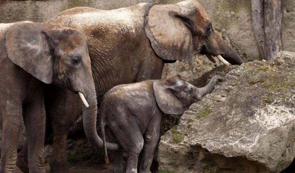 Семья слонов в сборе