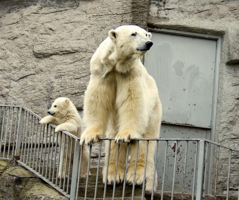 Семейство белых медведей