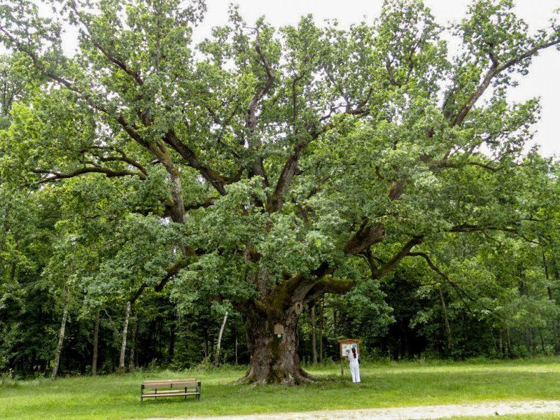 1000-летний дуб