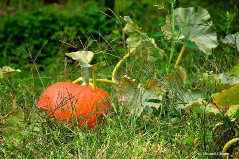 У огородников поспела тыква