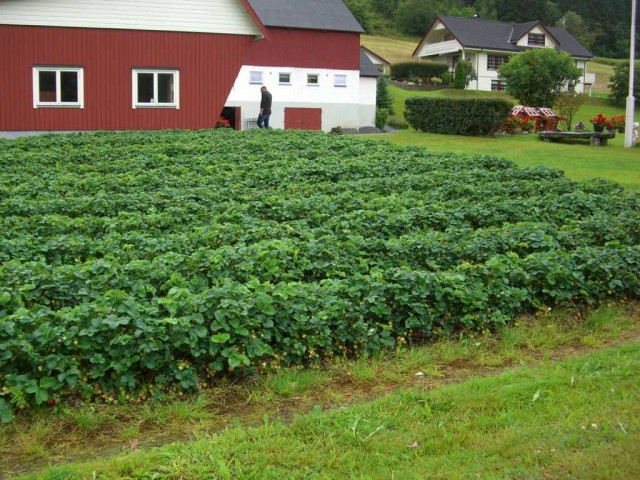 Норвегия, плантация клубники
