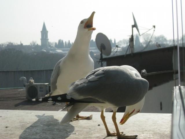 Чайки на фоне дворца Топ Капы