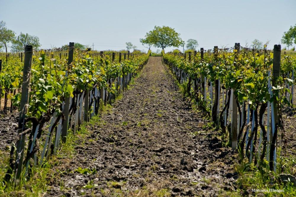 Прямо в парке есть много виноградников