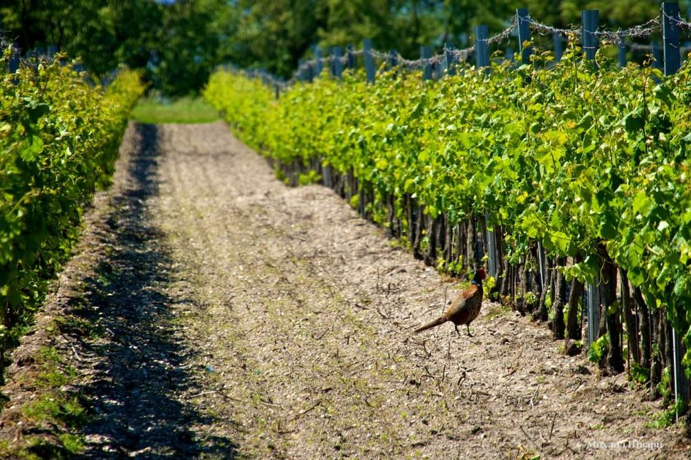 Фазан в виноградниках