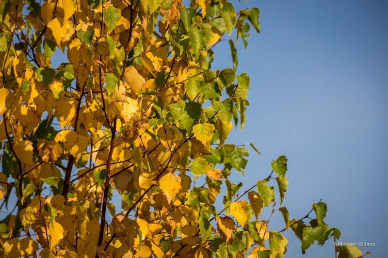 Желто-зеленая береза