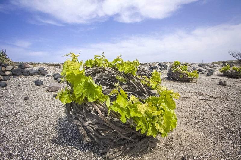 Виноградник Антонио