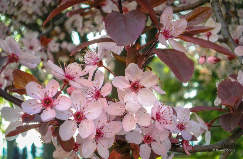 Цветение сливы на Калемегдане весной