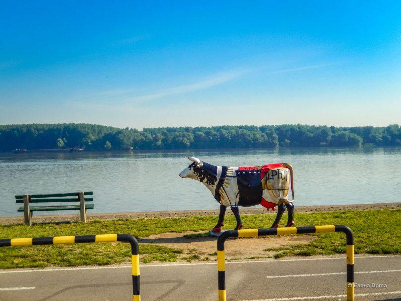Только такие коровы могут ходить по берегу прекрасного Дуная