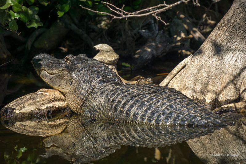 Заботливая мама аллигатор греется на солнышке, а на спине спит ее малыш