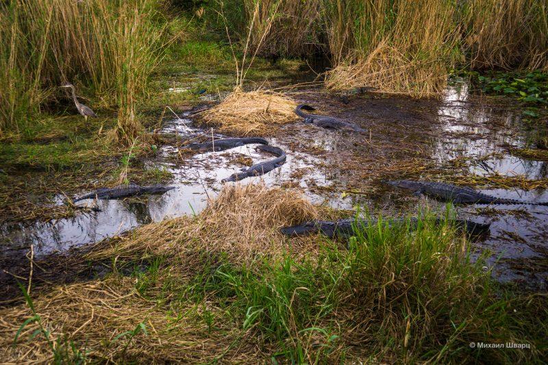 Смотрим аллигаторов в парке Everglades 10