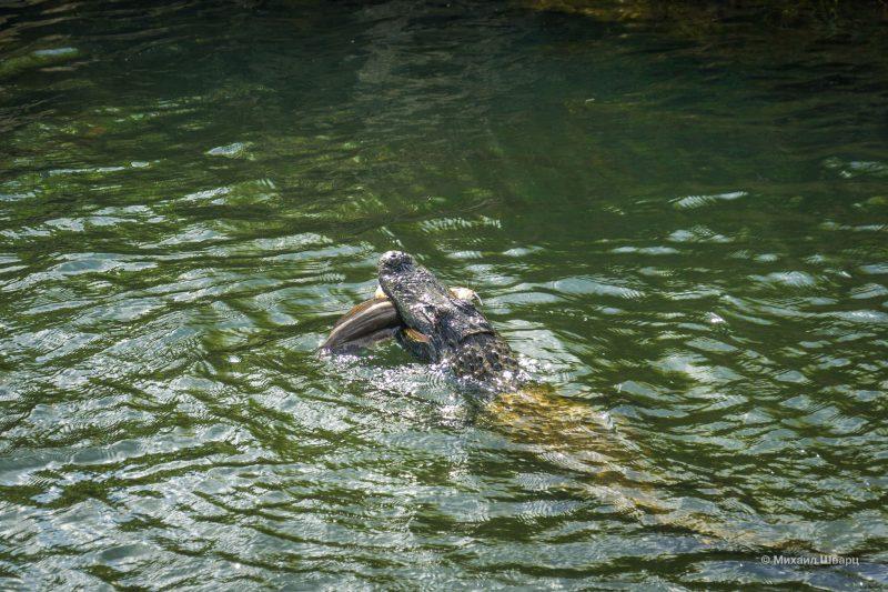 Смотрим аллигаторов в парке Everglades 20