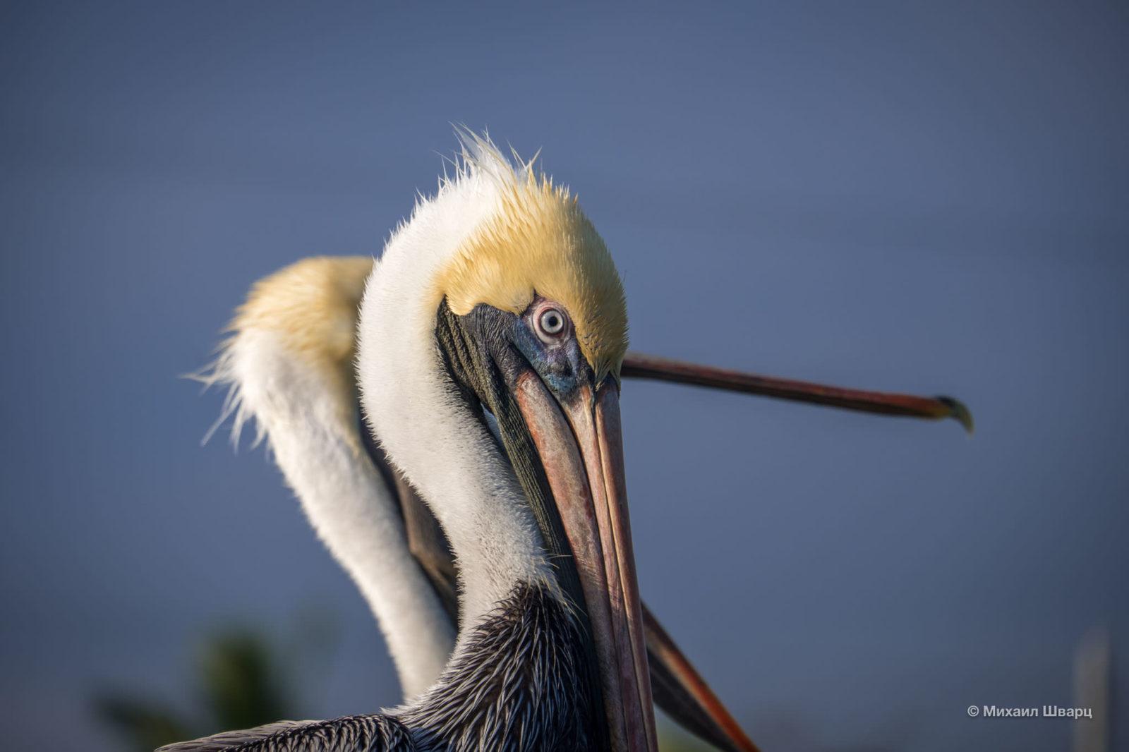 Глаз пеликана