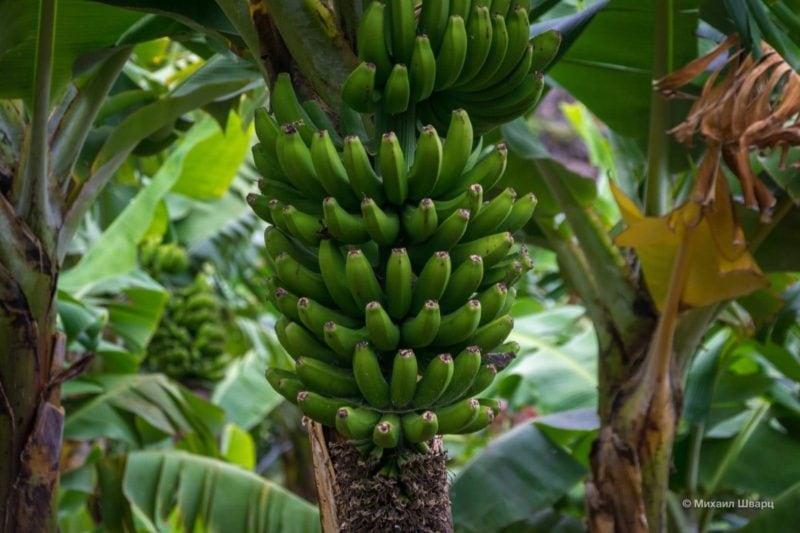 Как растут бананы на Канарах