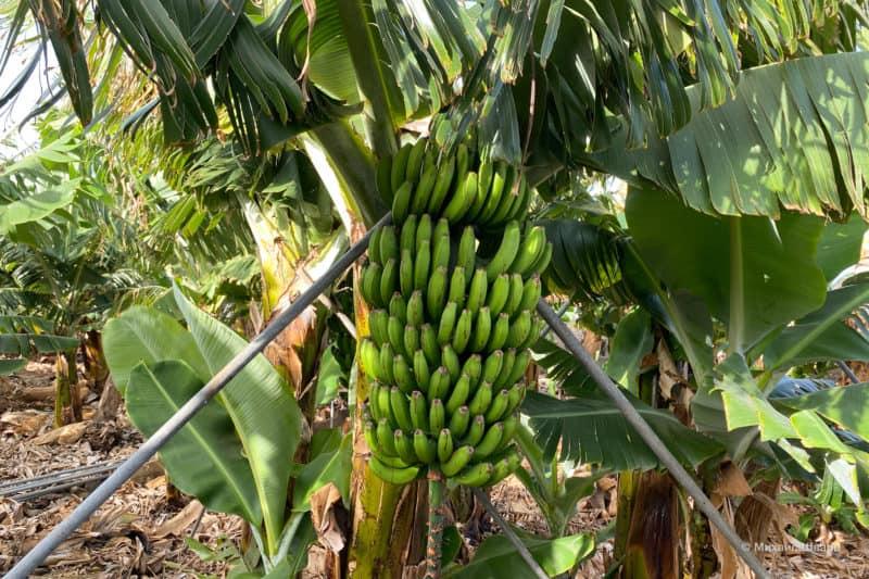 Ещё зеленые бананы