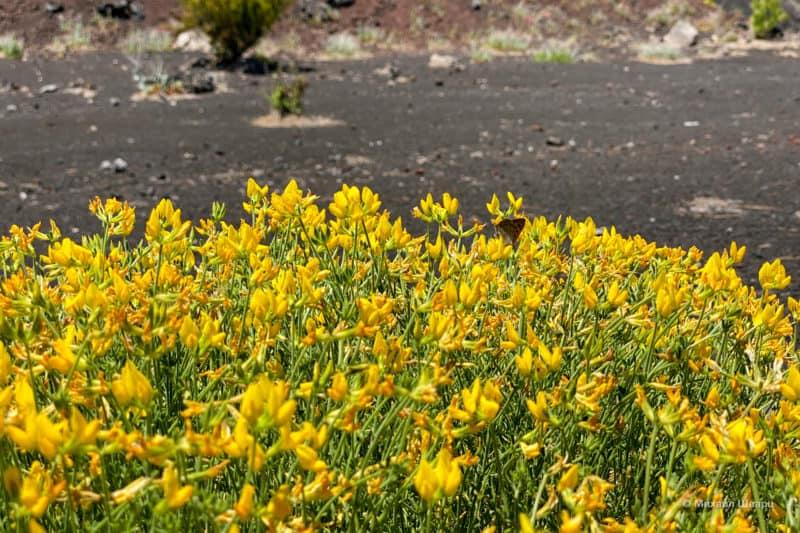 Цветы на фоне вулканов