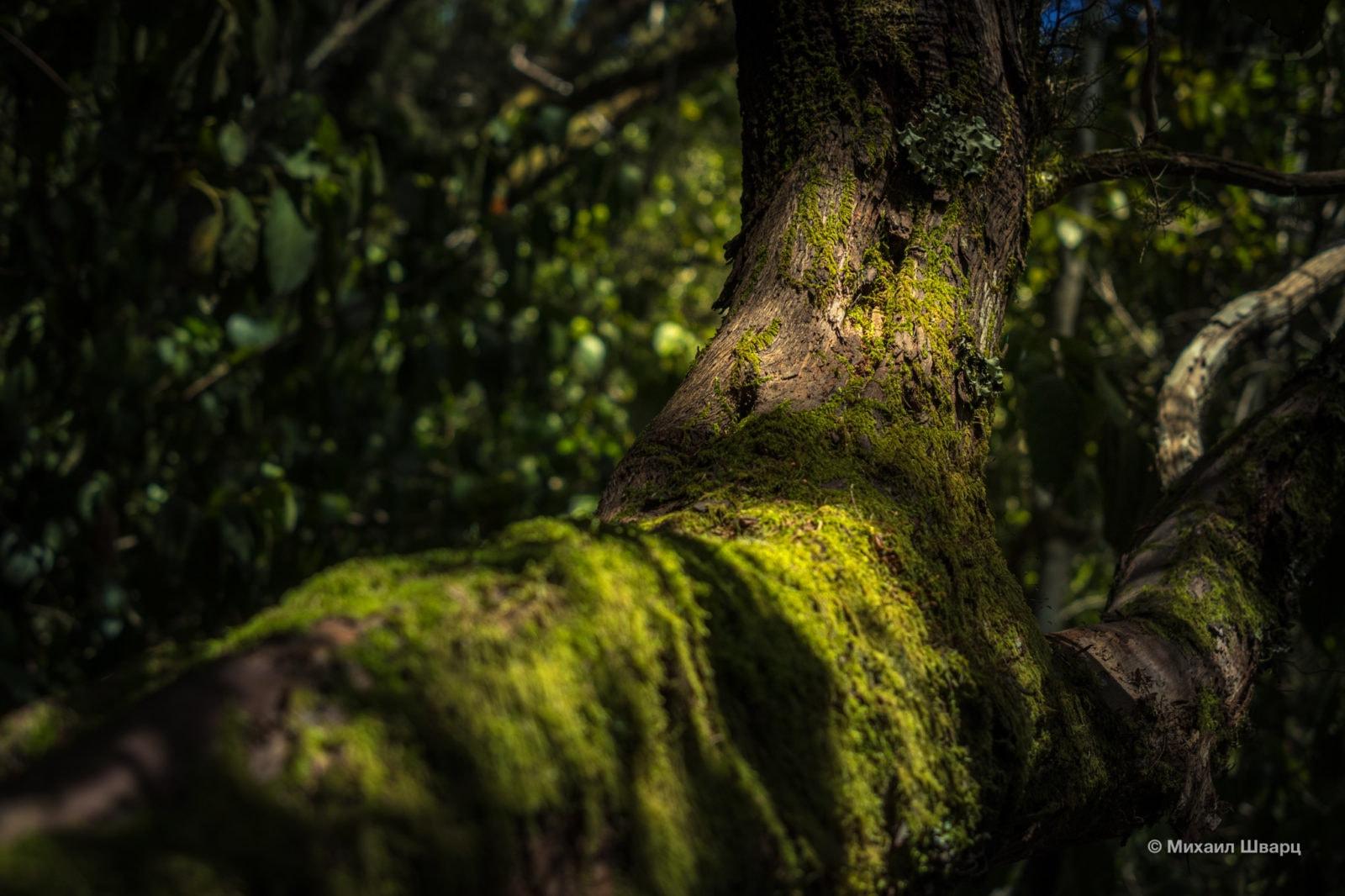 Прогулка по лавровому лесу Анаги