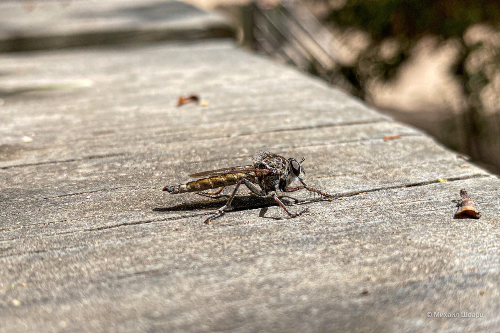 Хищная муха кртырь