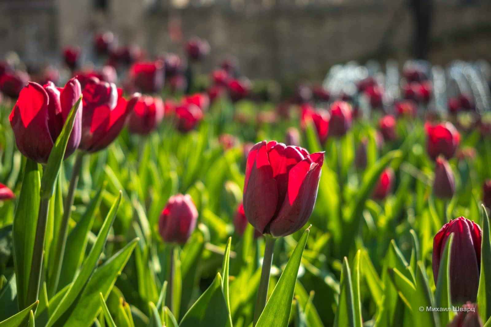 Расцвели тюльпаны